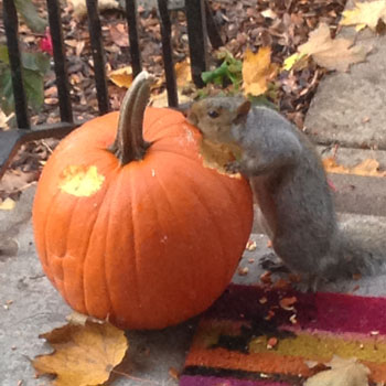 squirrel eats pumpkin