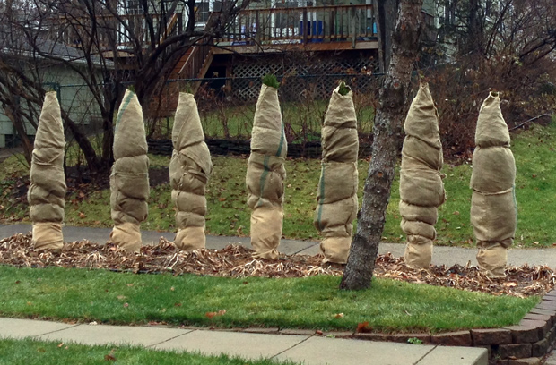 wrapped shrubbery