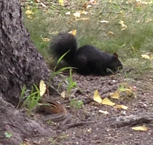 Black squirrel with chipmunk photobomber